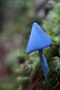 37-bluemushy